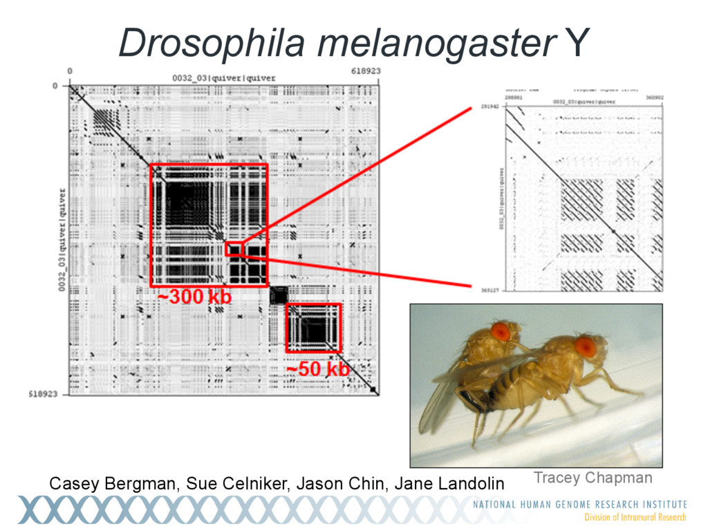Drosophila melanogaster Y Casey Bergman, Sue Ce...