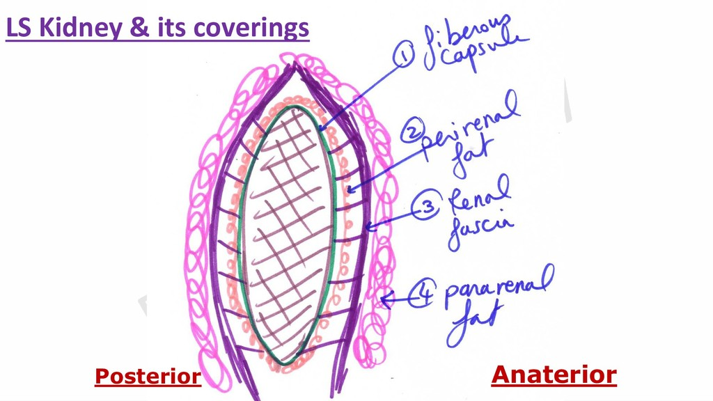 Anaterior Posterior LS Kidney & its coverings