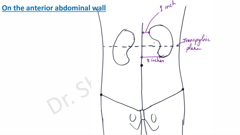 On the anterior abdominal wall