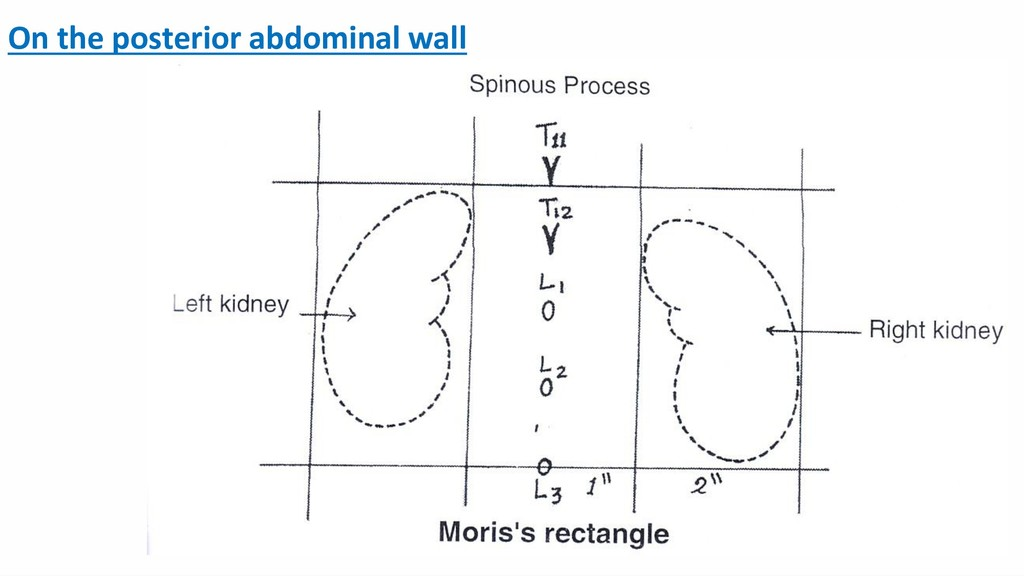 On the posterior abdominal wall