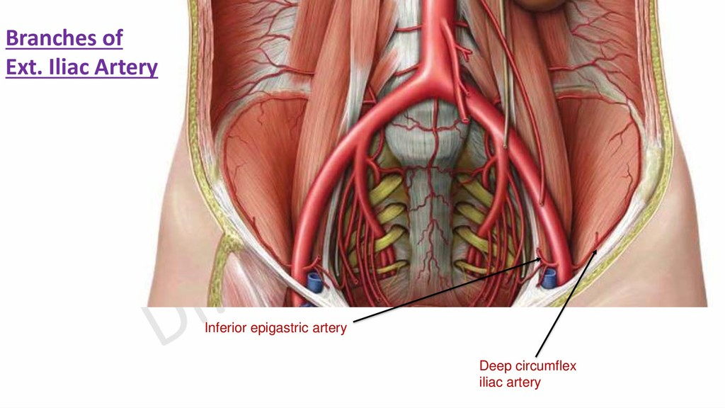 Deep circumflex iliac artery Inferior epigastri...