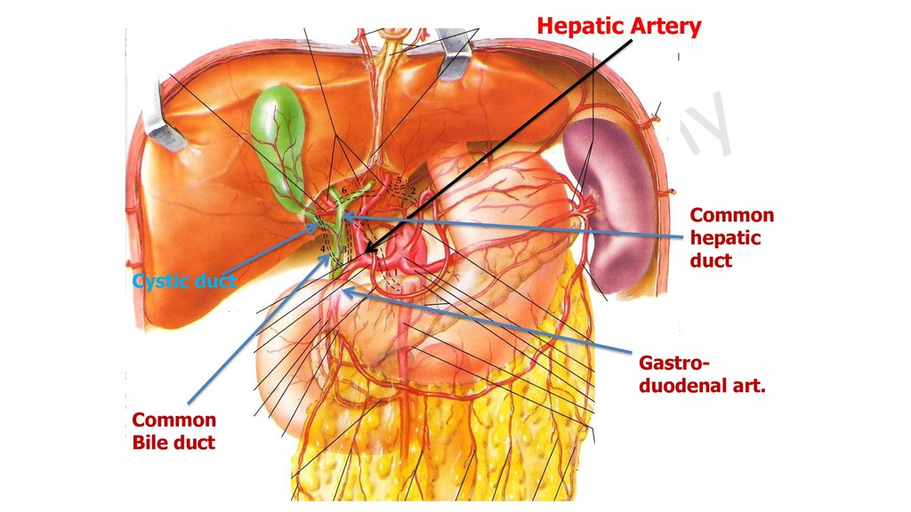 Hepatic Artery Common Bile duct Common hepatic ...