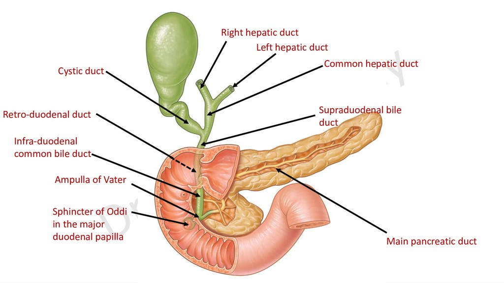 Main pancreatic duct Infra-duodenal common bile...