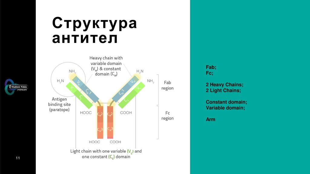 11 Структура антител Fab; Fc; 2 Heavy Chains; 2...
