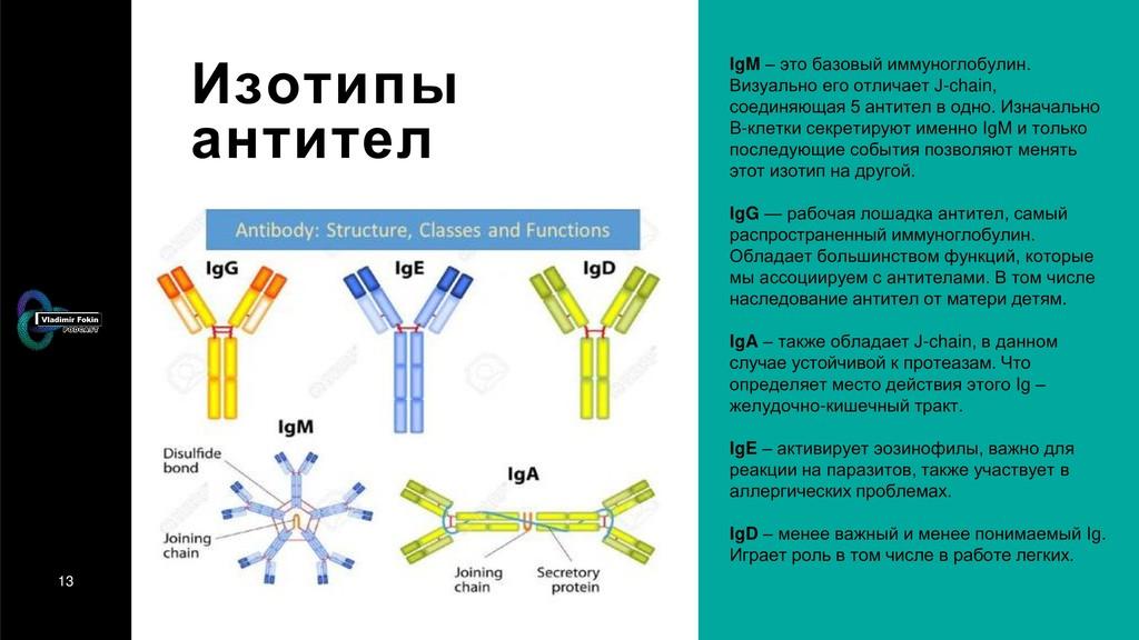 13 Изотипы антител IgM – это базовый иммуноглоб...