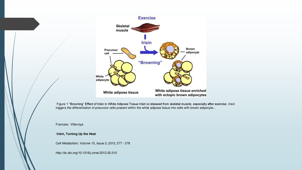 """Figure 1 """"Browning"""" Effect of Irisin in White A..."""