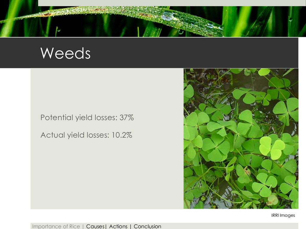 Weeds Potential yield losses: 37% Actual yield ...