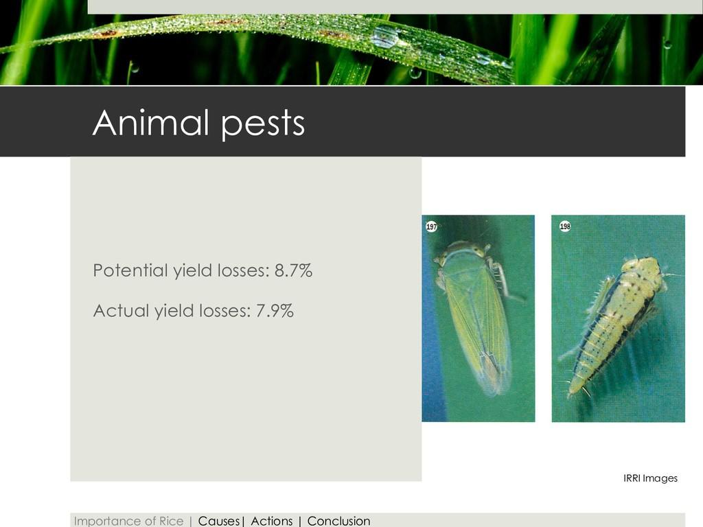 Animal pests Potential yield losses: 8.7% Actua...