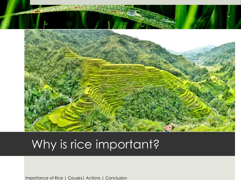 Why is rice important? Importance of Rice | Cau...