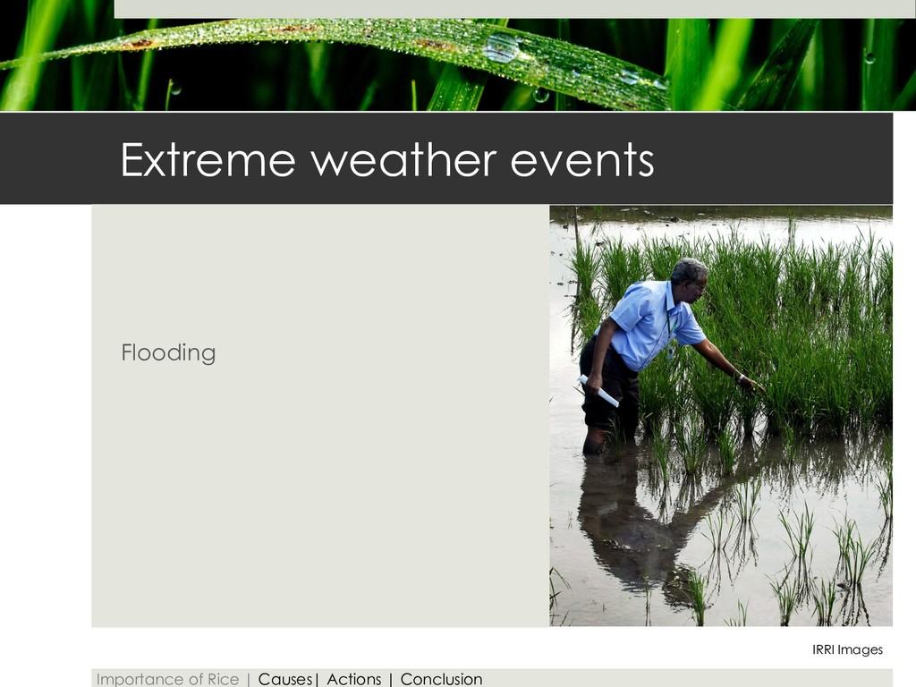 Extreme weather events Flooding IRRI Images Imp...