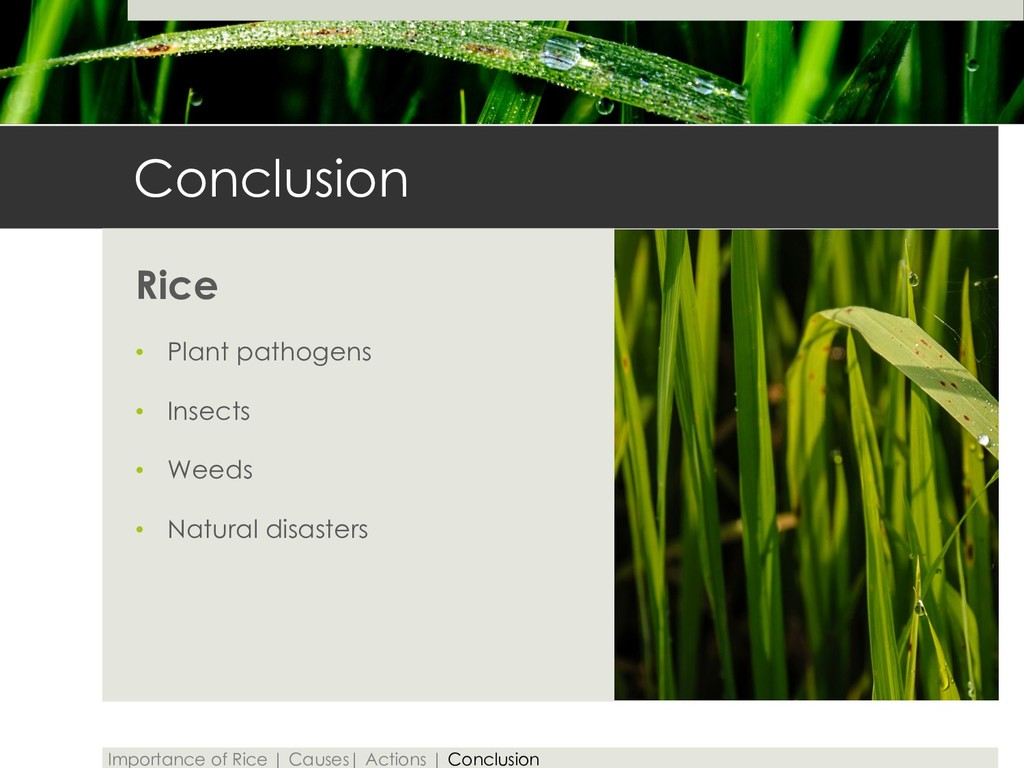 Conclusion Rice • Plant pathogens • Insects • W...