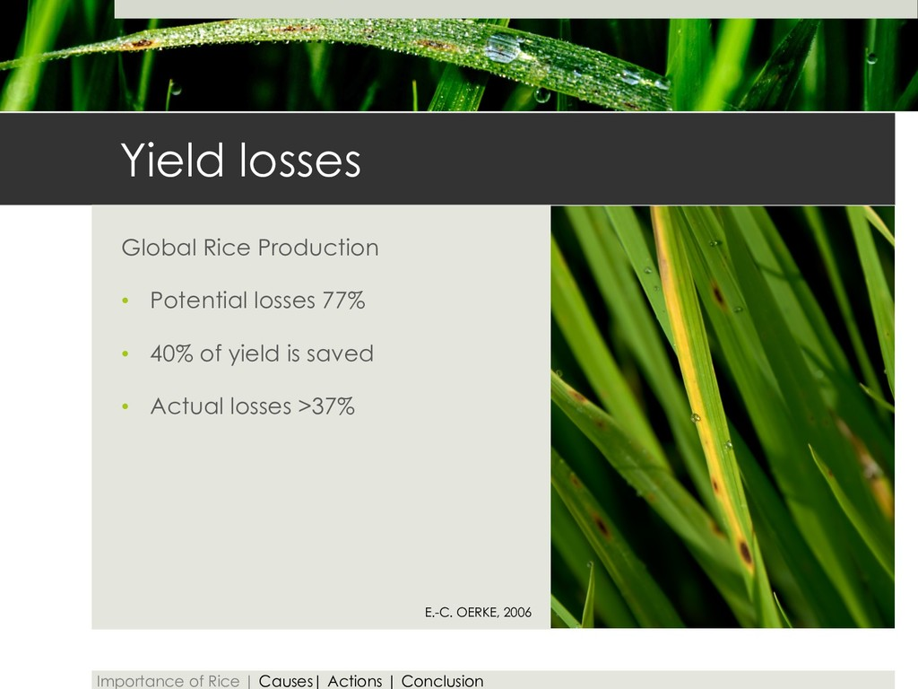 Yield losses Global Rice Production • Potential...