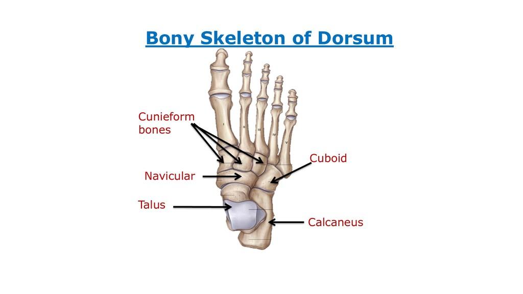 Calcaneus Talus Navicular Cunieform bones Cuboi...