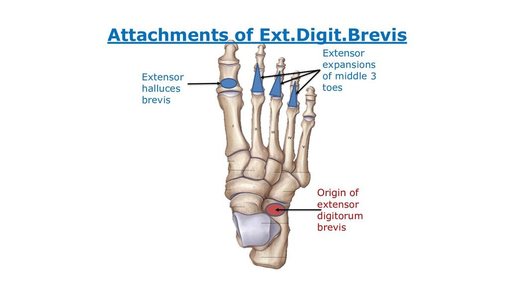 Attachments of Ext.Digit.Brevis Origin of exten...