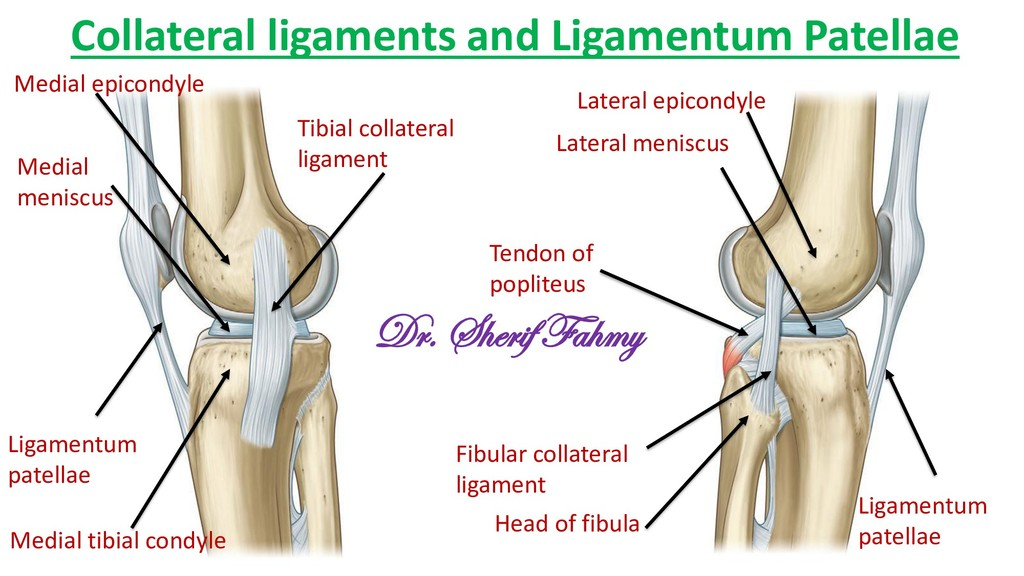 Collateral ligaments and Ligamentum Patellae Li...
