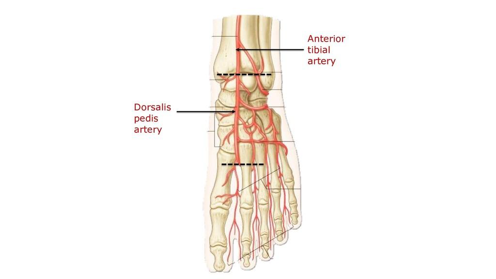 Dorsalis pedis artery Anterior tibial artery