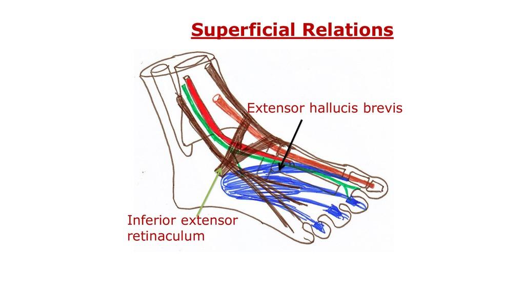 Superficial Relations Inferior extensor retinac...
