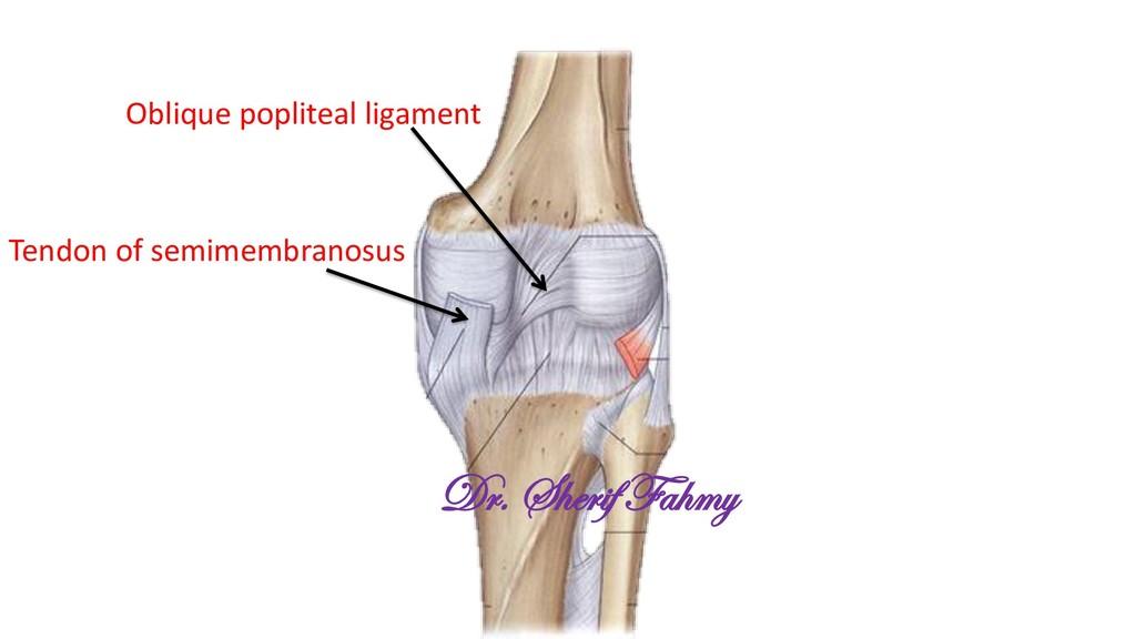 Oblique popliteal ligament Tendon of semimembra...