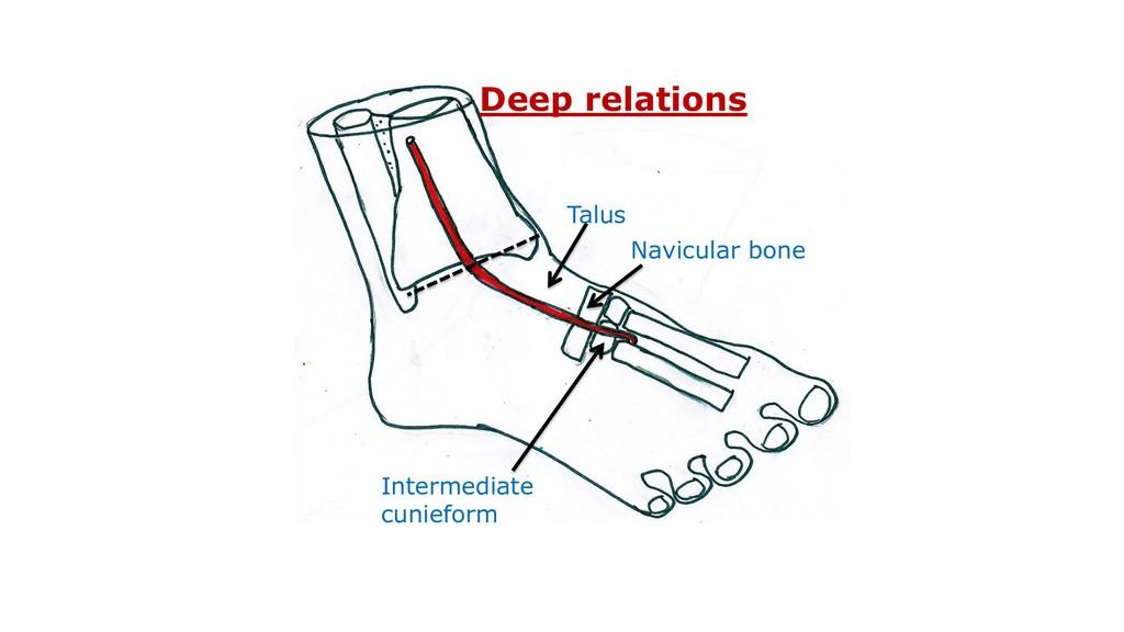 Talus Navicular bone Intermediate cunieform Dee...