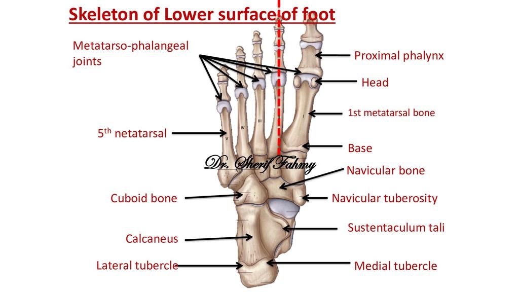 Skeleton of Lower surface of foot Calcaneus Med...