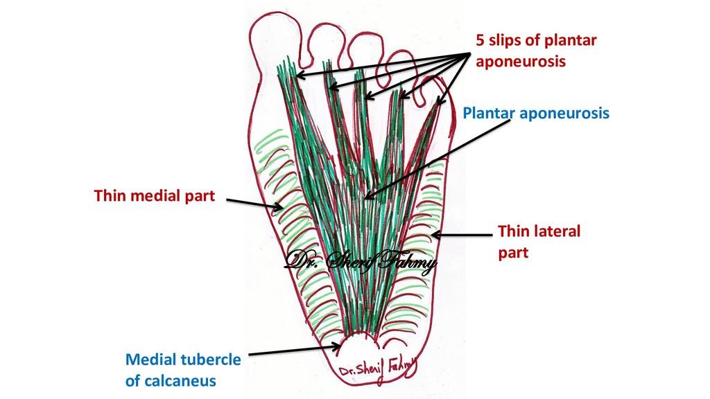 Plantar aponeurosis Medial tubercle of calcaneu...