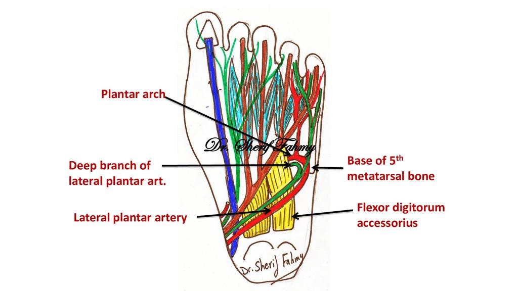 Flexor digitorum accessorius Lateral plantar ar...