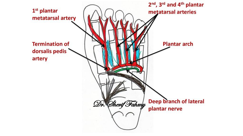Deep branch of lateral plantar nerve Plantar ar...