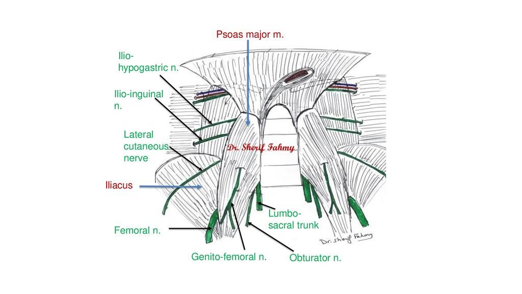 Ilio- hypogastric n. Ilio-inguinal n. Lateral c...