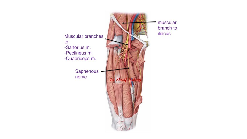 Saphenous nerve Muscular branches to: -Sartoriu...