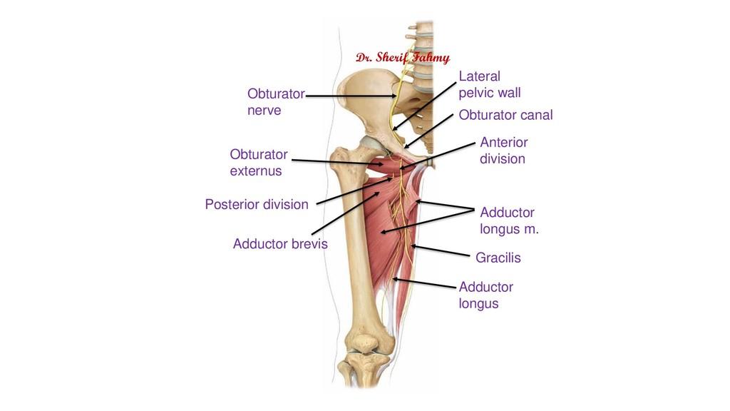 Obturator nerve Obturator externus Adductor bre...