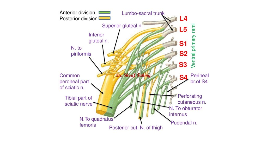 L4 L5 S1 S2 S3 S4 Superior gluteal n. Inferior ...
