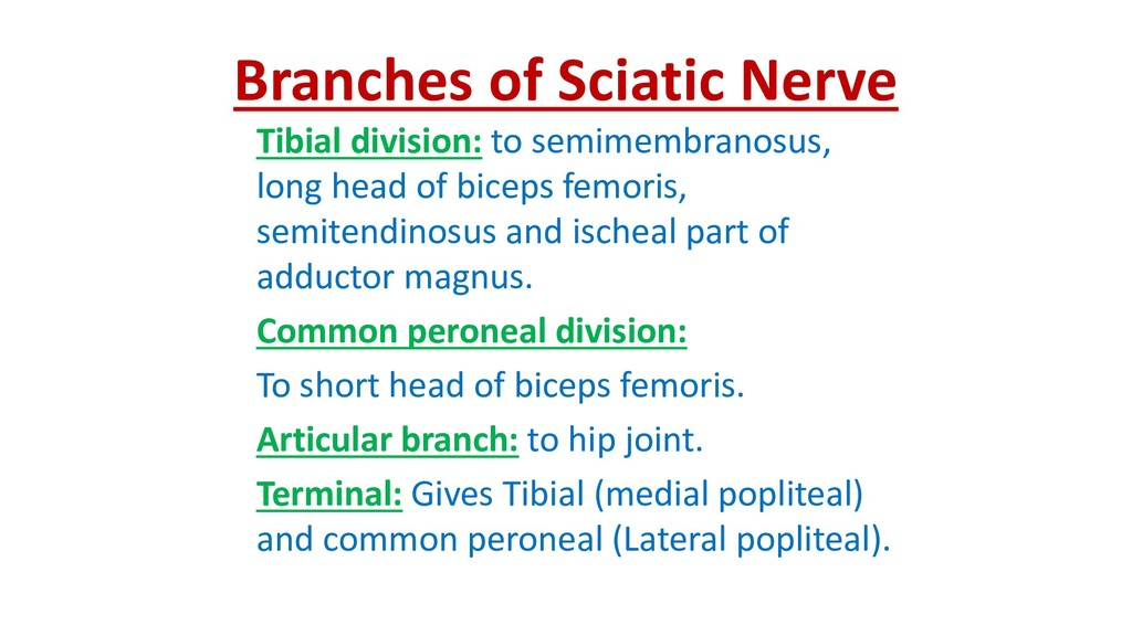 Branches of Sciatic Nerve Tibial division: to s...