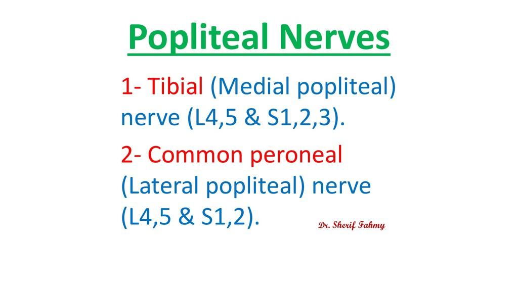 Popliteal Nerves 1- Tibial (Medial popliteal) n...