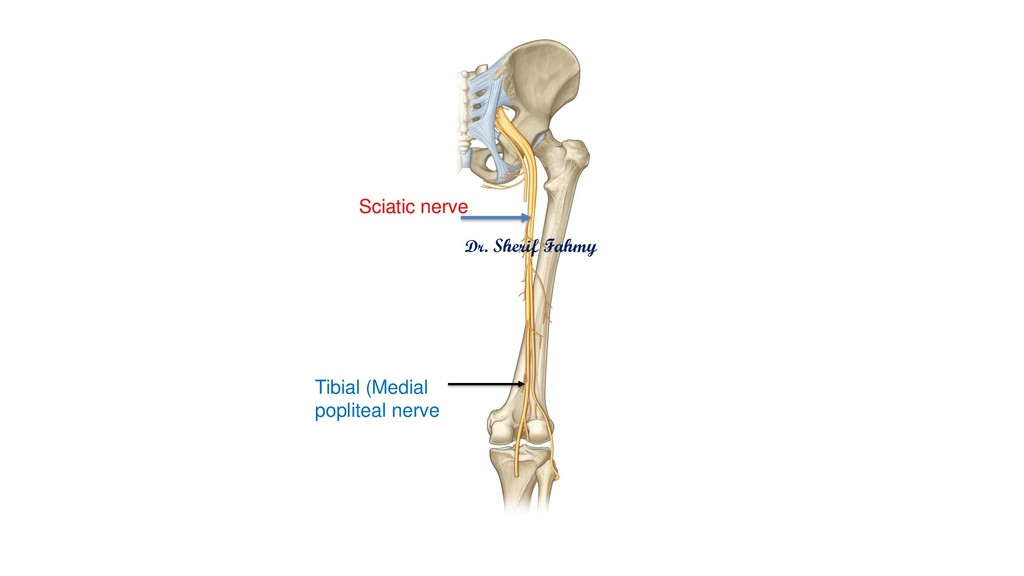 Sciatic nerve Dr. Sherif Fahmy Tibial (Medial p...