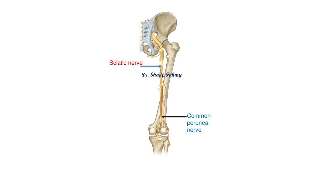 Sciatic nerve Dr. Sherif Fahmy Common peroneal ...