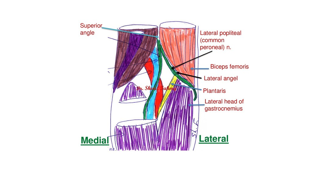 Lateral popliteal (common peroneal) n. Lateral ...