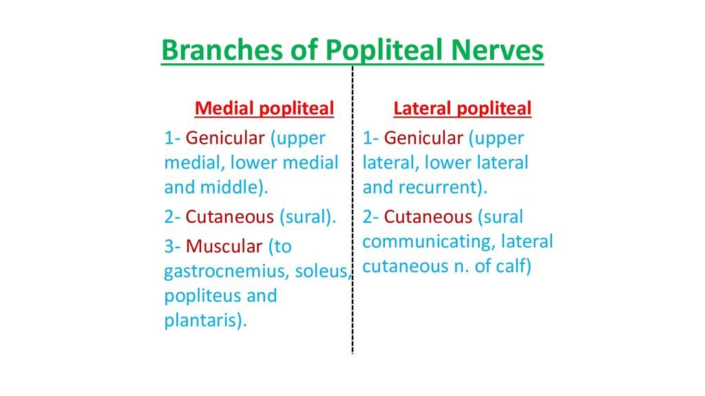 Branches of Popliteal Nerves Medial popliteal 1...