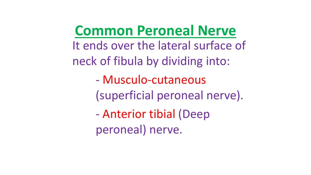 Common Peroneal Nerve It ends over the lateral ...