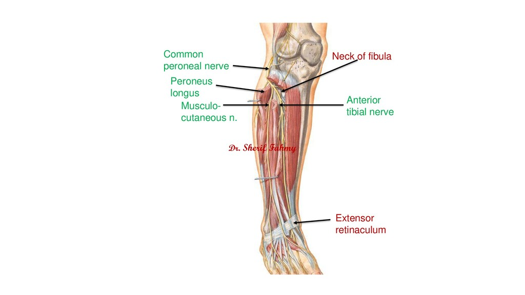 Common peroneal nerve Anterior tibial nerve Mus...
