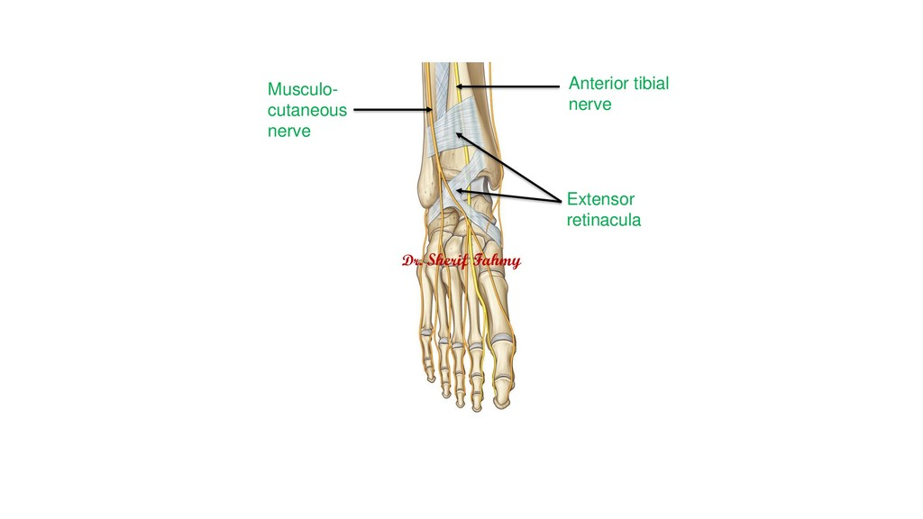 Anterior tibial nerve Musculo- cutaneous nerve ...