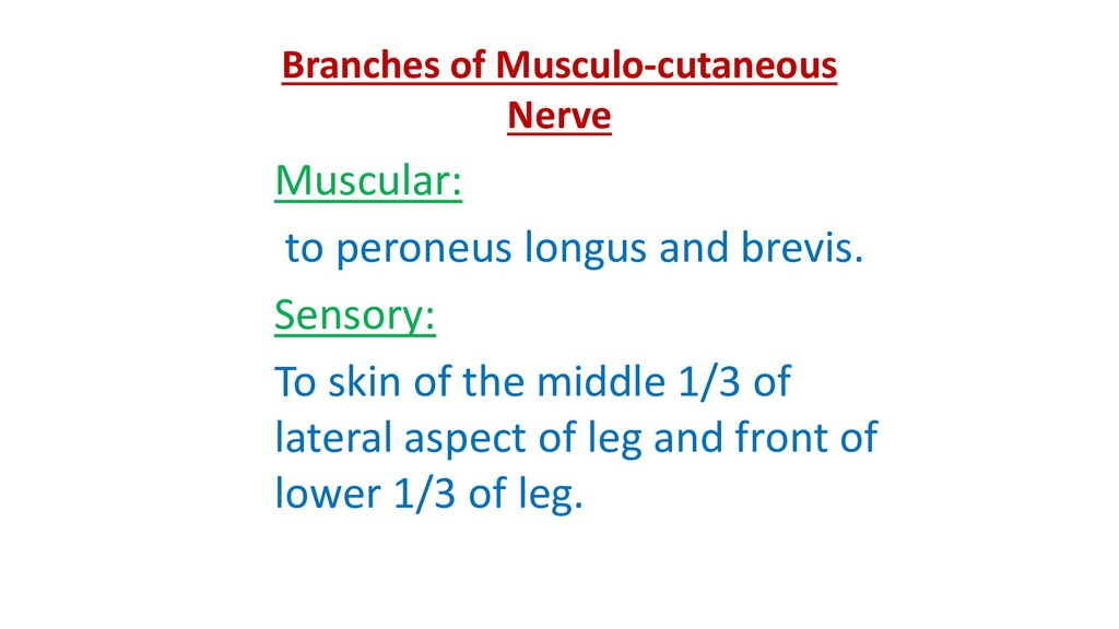 Branches of Musculo-cutaneous Nerve Muscular: t...
