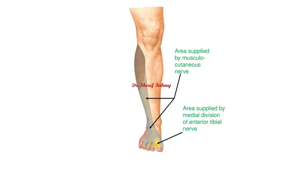 Area supplied by musculo- cutaneous nerve Area ...