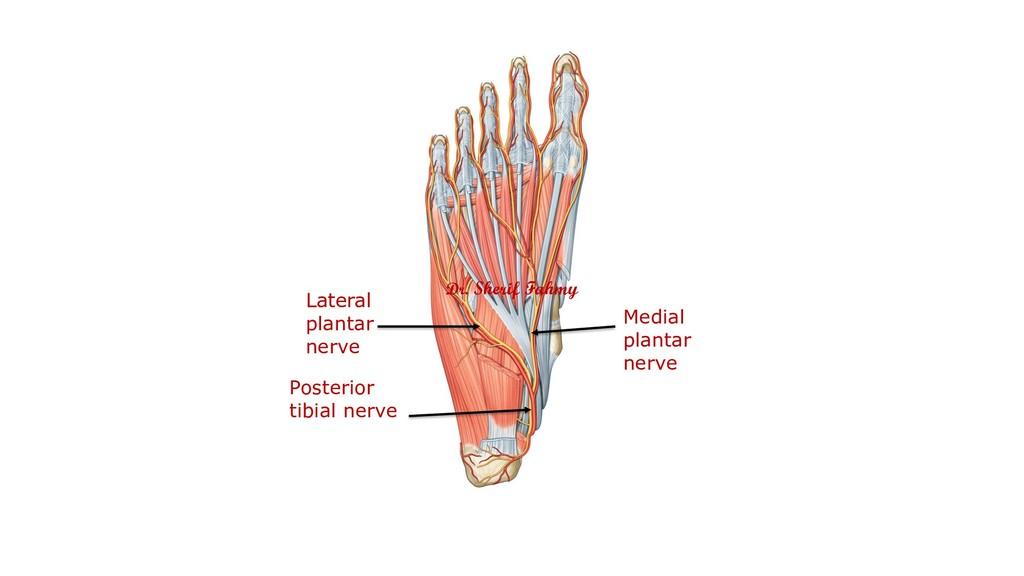 Posterior tibial nerve Medial plantar nerve Lat...