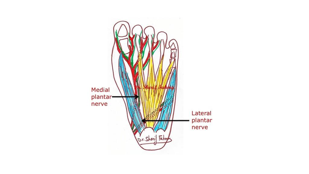Medial plantar nerve Lateral plantar nerve Dr. ...