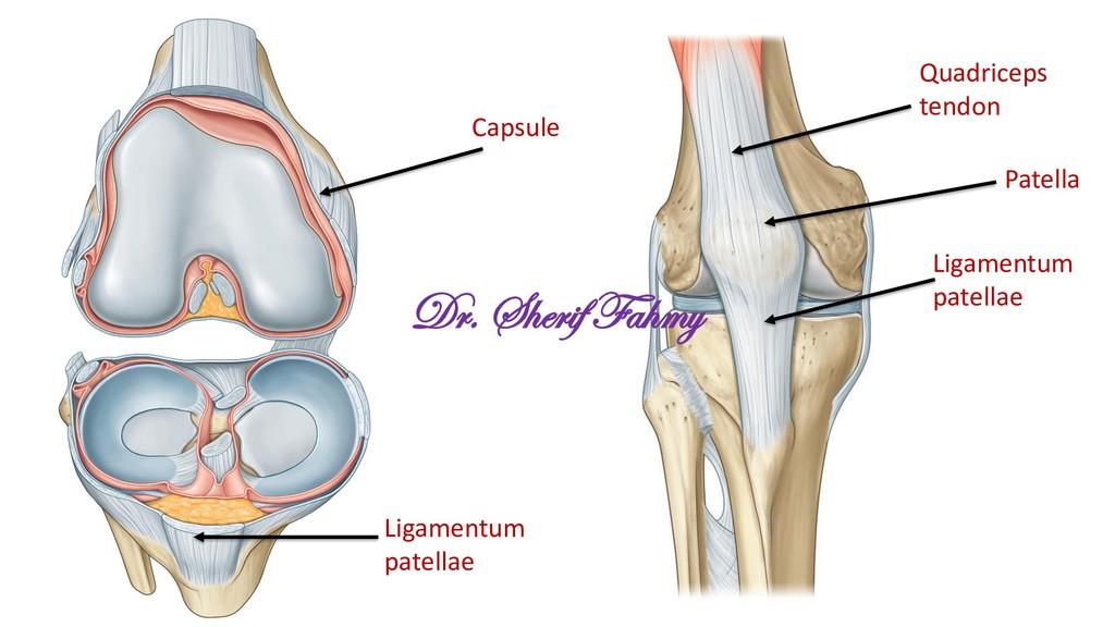 Quadriceps tendon Patella Ligamentum patellae C...