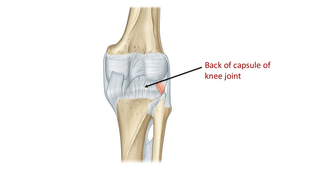 Back of capsule of knee joint