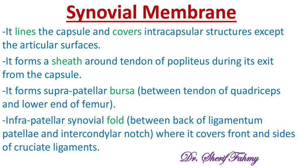 Synovial Membrane -It lines the capsule and cov...
