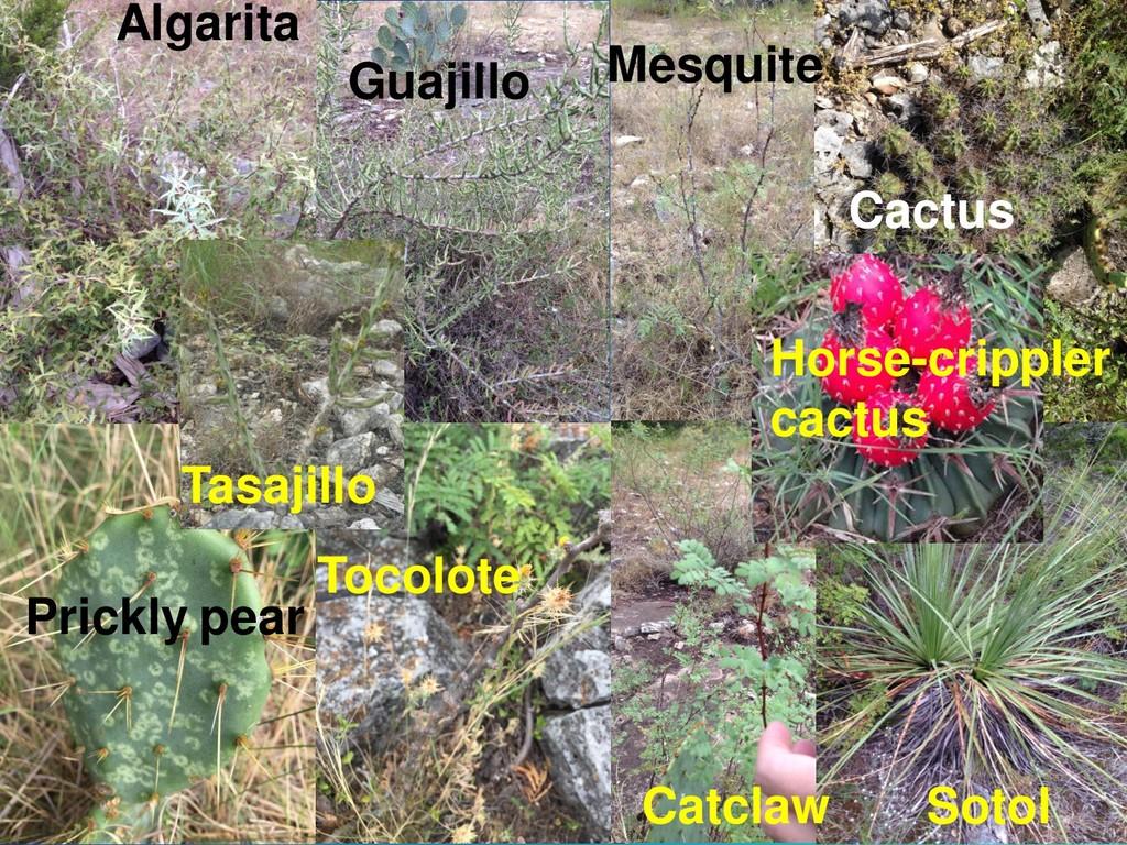 Subhead Here Algarita Guajillo Mesquite Cactus ...