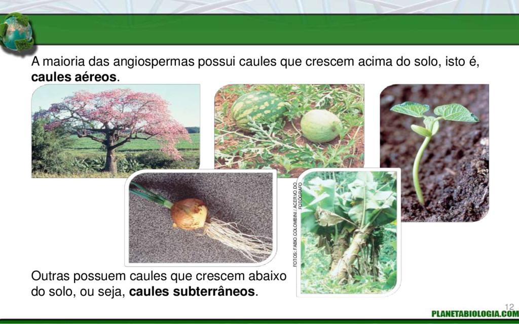 A maioria das angiospermas possui caules que cr...