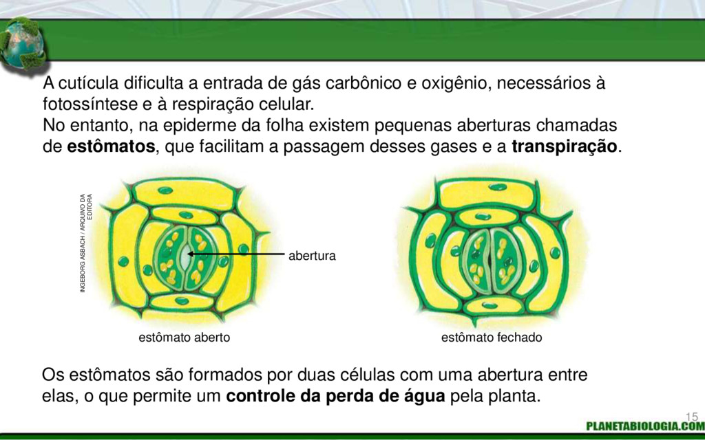 A cutícula dificulta a entrada de gás carbônico...
